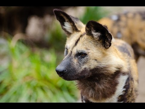 African Wild Dog / Dog Breed
