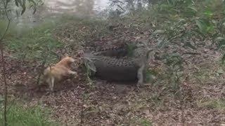 fiesty-dog-gets-eaten-by-a-crocodile