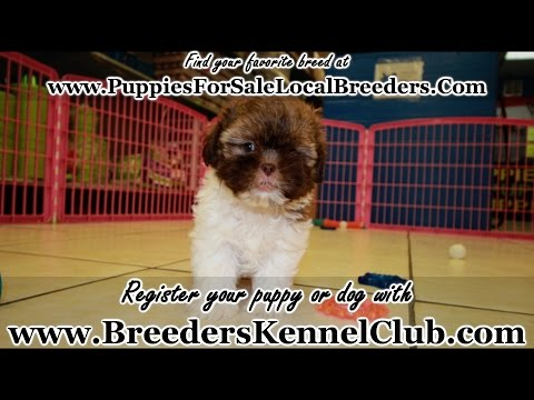 SHIH TZU PUPPIES FOR SALE IN GEORGIA LOCAL BREEDERS