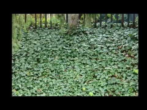 How To Grow Ivy Doovi