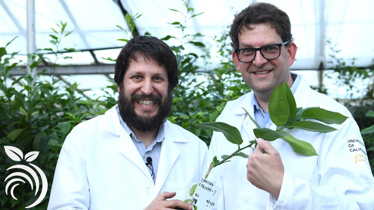 Lây lan và dịch bệnh trên cây cam quýt ở California - Tiến sĩ Vidalakis trả lời câu hỏi của bạn