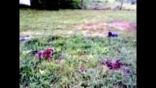 Border Terrier Puppy Chases Cat