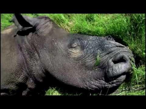 Bạn sẽ khóc khi xem clip này - Cuộc khủng hoảng tê giác (Save the Rhino)