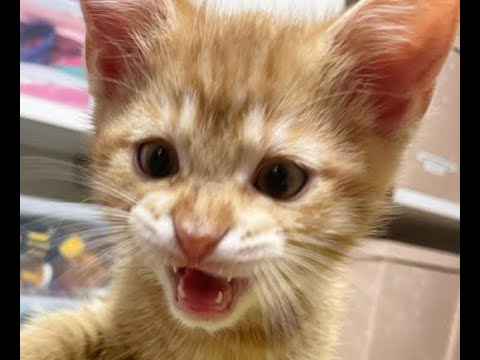 Download FUNNIEST CAT VIDEOS 😸 2021 - Try Not To Laugh Or Grin Challenge   International Cat