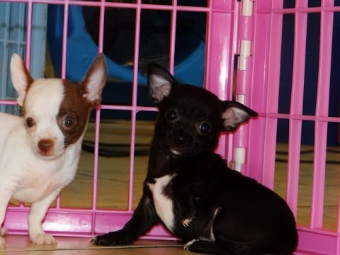 Chihuahua Puppies Dogs For Sale In Montgomery Alabama Al