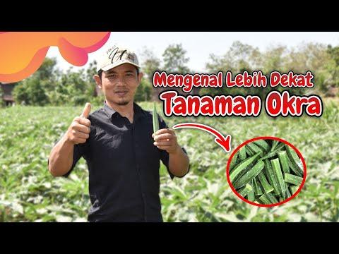 Budidaya Tanaman Okra Di Indonesia