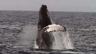 9.29.15 Breaching Humpback Whales & Common Dolphins #Monterey #Travel #Adventure