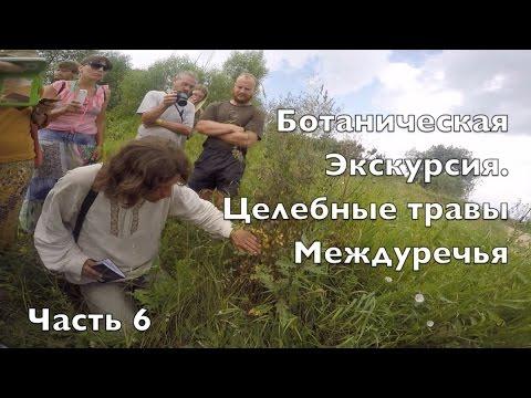 Медонос синяк и его выращивание