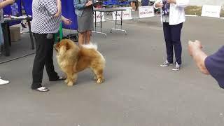 породы собак, Чау-чау, интернациональная выставка собак в Великом Новгороде ранга CACIB
