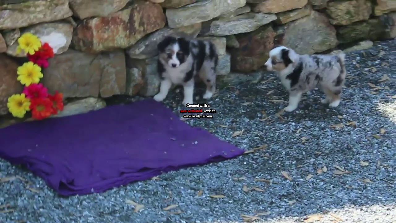 Miniature Australian Shepherd Puppies For Sale David Kauffman