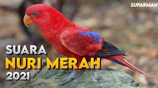 Suara Burung Nuri Merah Pikat Burung Nuri Merah