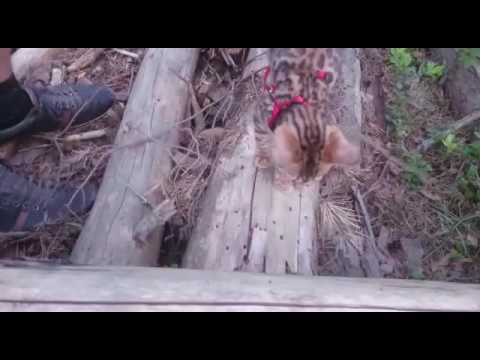 Bengal kitten walking in forest
