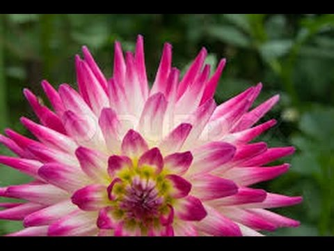 Pink white flowers youtube pink white flowers mightylinksfo Choice Image