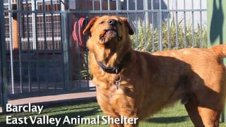 Adopt Barclay at East Valley Animal Shelter, Van Nuys CA