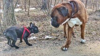 Знакомство с щенком французского бульдога/Смешные собаки/Bulldog vs Boxerdog