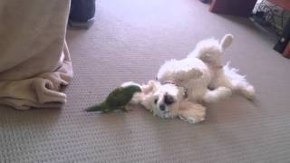 toy poodle Sophie and Emerald the Lorikeet playing