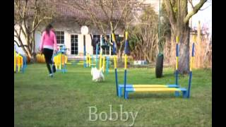 Bobby & Ginger - Westie Spring Agility