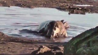 Тайна природы - зачем тюлени поедают своих детей(Необычное поведение серого тюленя случайно сняли британские биологи. Они впервые засняли за колонией..., 2016-02-18T09:15:39.000Z)