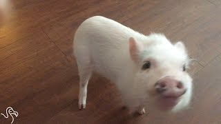 Emotional Support Pig Makes Life Hilarious
