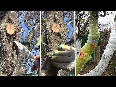 Лечение ран на деревьях Самодельная замазка для дерева.  Результат лечения.