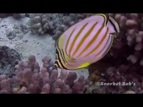 Beauteous Butterflyfish • Hawaii