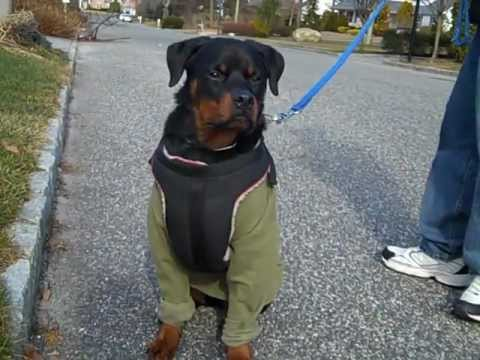 Rottweiler Female 8 Months Old Youtube