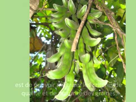 La culture dédiée au Mucuna pruriens biologique au Togo sous forme de « contract farming »