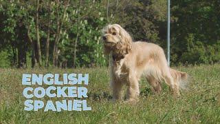 English Cocker Spaniel Dog Breed Information