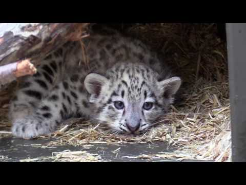 Cleveland Metroparks Zoo Introduces Baby Snow Leopard