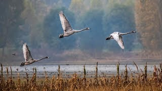 Over 1,500 migratory whooper swans fly to N China's Shanxi