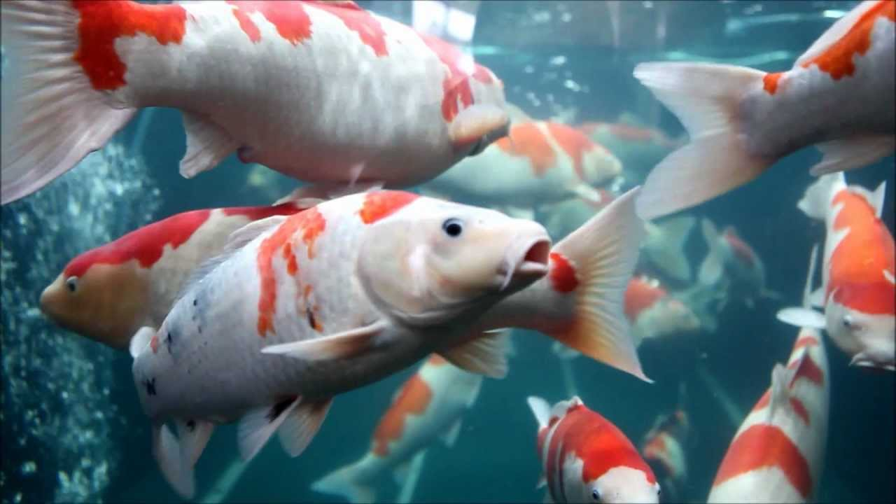 Koi fish tank at higashi hiroshima japan youtube for Carpe koi aquarium 300 litres
