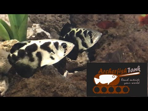 Welcome To Archerfish Tank