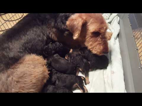 Airedale Terrier Puppies Sale Video - S & S Family Airedales - Curly`s Airedale Puppies