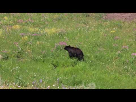 Roadtrip USA Vlog - Day 8 - Bears in Yellowstone