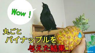 【Pineapple】カラスにパイナップルを丸ごと与えてみた   猫にセクハラ...