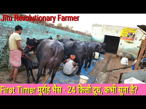 👍21Top Murrah - Milk Yield 20+ litres -Sold to a Buyer from Dhule, Maharastra👍@ #MonvirKundu Farm.