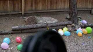 dog popping bday balloons