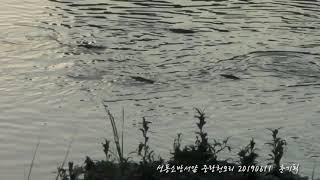 성동소방서앞  오리와잉어2019년 6월 11일