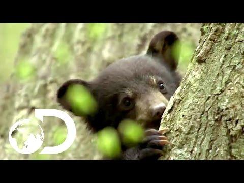 Baby Black Bear Climbs Tree To Escape Predators