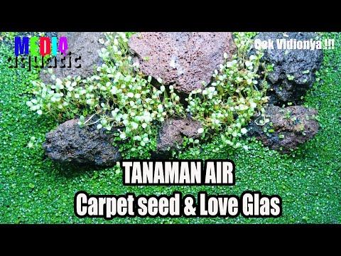 carpet-seed,-love-glass-dan-hair-glass