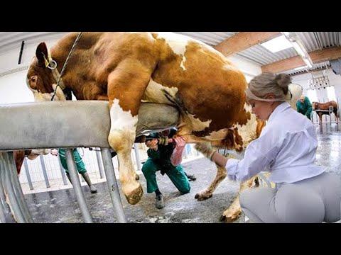 Intelligent Technology Modern Cow Milking Feeding Pretty Girl CASE IH VOLVO Tractor Transportation