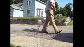 Cincinnati Puppy Training  Bootcamp - Dogo Argentino Obedience Training