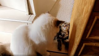 Kitten rescued by big brother during cat fight