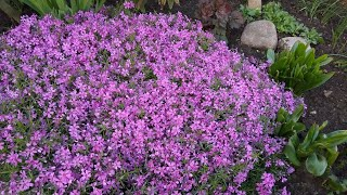 Обзор многолетних растений на клумбе. Флокс шиловидный. Цветение в тени и на солнце.