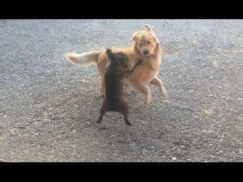 Golden Retriever VS. French Bulldog FIGHT