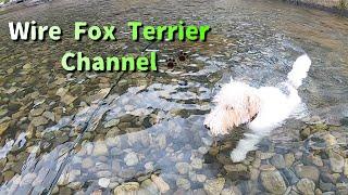 The world's best swimming wire fox terrier