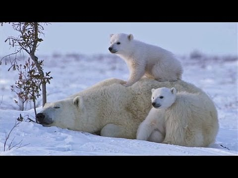 POLAR BEAR LOVE: Cute polar bear cubs lovin' up their mamma