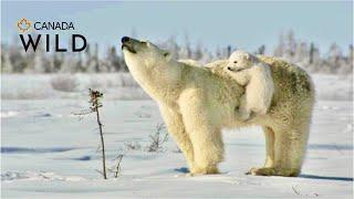 Repeat youtube video POLAR BEAR LOVE: Cute polar bear cubs lovin' up their mamma