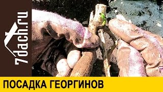 Посадка георгинов - 7 дач