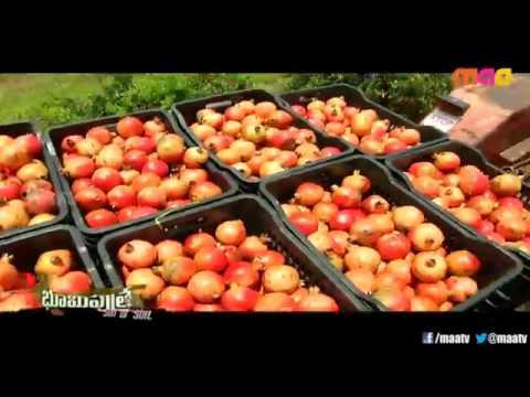organic pomegranate cultivation telugu